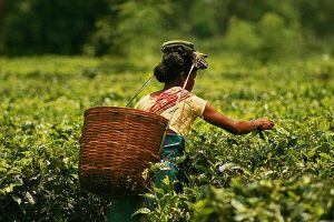 Tea Field photo by Akarsh Simha
