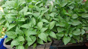 Paprika Plants